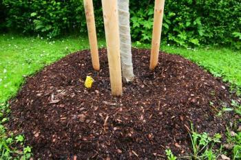Kolem kmene je bal z kůry smísený s rašelinou, kmen je chráněn zábalem