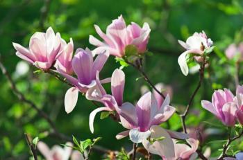 Nádherné květy magnólií