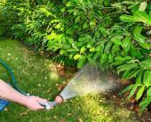 Zavlažování rododendronů