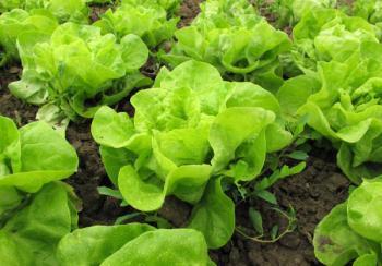 Čerstvý salát už brzy z jara