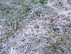 Plíseň sněžná