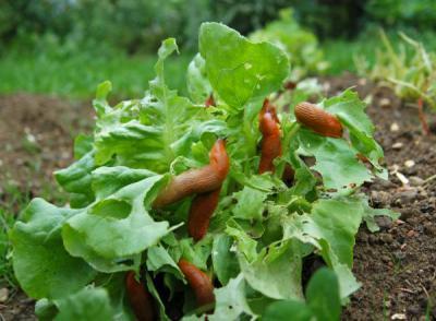 Plzák španělský na salátu