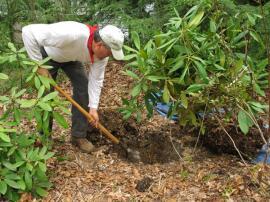 Vysazování rododendronů