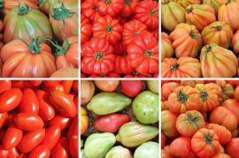 Plody různých odrůd rajčat