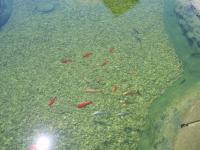 Chov ryb v zahradním jezírku