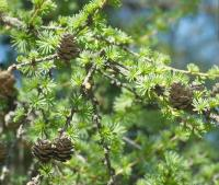 Větve, jehličí a šišky modřínu - opadavého jehličnanu