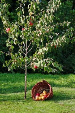 Mladá jabloň, bohužel trávník kolem kmene na ilustrační fotografii není skutečně ideální