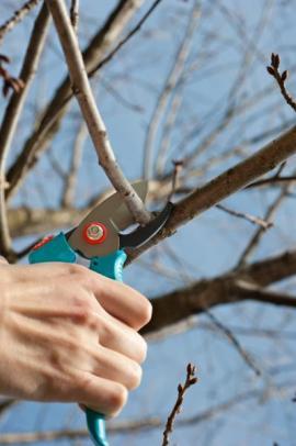 Řez ovocných dřevin