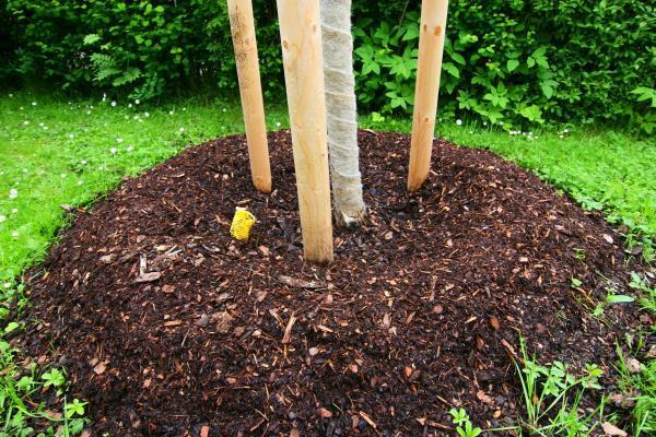 Mulčovací kůra kolem kmene, před podzimním či jarním hnojením se odhrne, hnojivo zapraví do půdy a opět přihrne