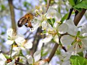 Opylení hmyzem je pro ovocné dřeviny klíčové