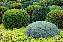 Buxus oživí zahradu