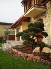 Tvarovaná borovice jako solitér u domu