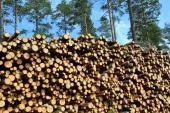 Měkké dřevo smrku a borovice
