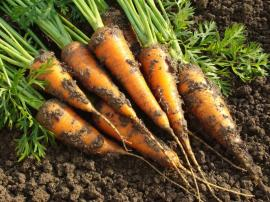 Vyrýplá mrkev