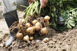 V dobré půdě dosáhneme kvalitní úrody brambor