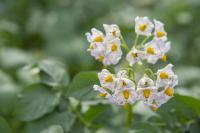 Nádherný květ brambor