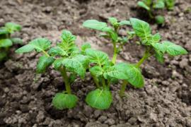 Vzešlá rostlinka brambory