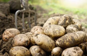 Sklizeň brambor rycími vidlemi