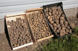Brambory necháme po sklizni cca 14 dní na lískách