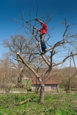 Prořezávání ovocného stromu