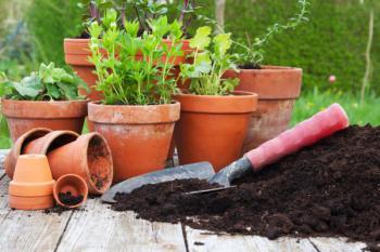 Přesazování bylinek do květináčů