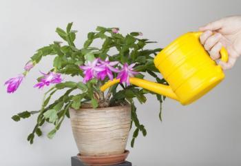 Zalévání pokojové květiny