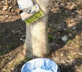Vápenné mléko je vhodné k nátěru kmenů i jiných ovocných dřevin než jabloní - ořešák