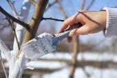 Natírat lze vápenným mlékem i výše položené tenčí větve