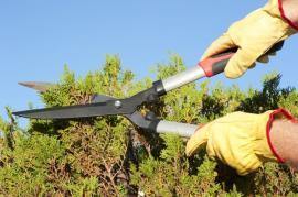 Tvarování živého plotu z jehličnanů