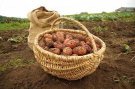 Úroda brambor