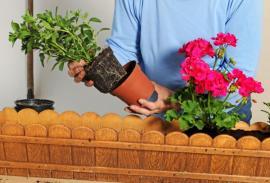 Přesazování truhlíkových rostlin