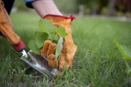 Odstraňování plevele z trávníku