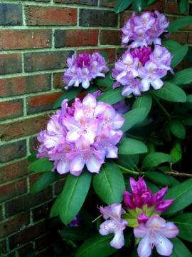 Kvetoucí rododendron