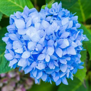 Modrý květ hortenzie