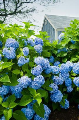 Modře kvetoucí hortenzie