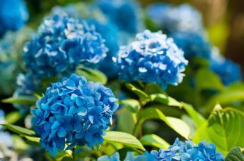 Nádherné hořcově modré květy hortenzií