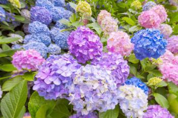 Různé barvy květů hortenzií