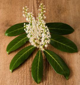 Detail utržené větvičky bobkovišně s listy a květy