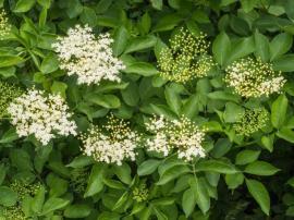 Kvetoucí a odkvétající bez černý - zelené kuličky jsou zárodky budoucích černých plodů