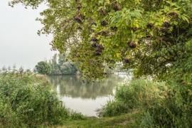 Bez černý na břehu rybníka, na oblíbeném stinném místě