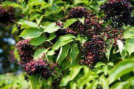 Plody bezu černého