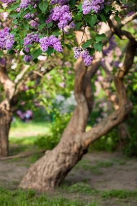 Šeřík ve stromkové formě