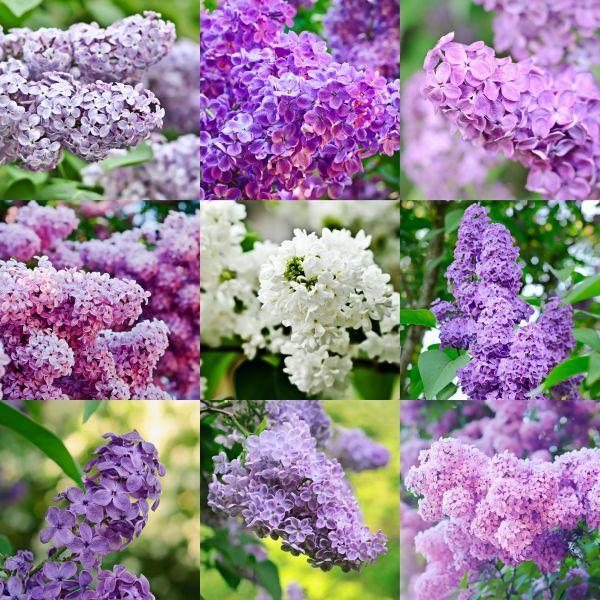 Různobarevné květy šeříků