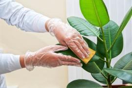 Pravidelná péče o rostliny je důležitá, usazený prach listům také nesvědčí