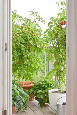 Rajčata a jahodníky - někdo to rád červené