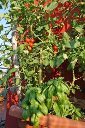 Mobilní rajčata a špenát
