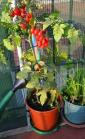 Mobilní rajčata - na světě existuje na 300.000 odrůd rajčat!