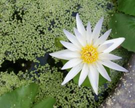 Nádherný květ leknínu