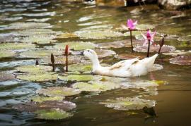 Kachny oštípávají listy i květy leknínů