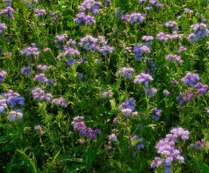 Svazenka nemá na našich zahradách žádné příbuzné - je proto ideálním zeleným hnojivem